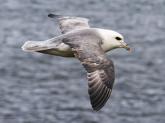 a photo of a Northern fulmar flying above the sea