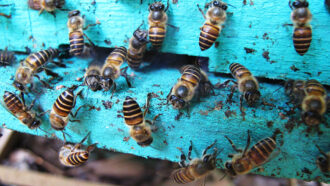 Honeybees fend off deadly hornets by decorating hives with poop
