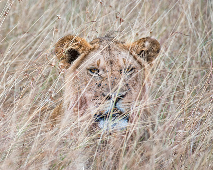 a photo of a lion peering through grass at the viewer