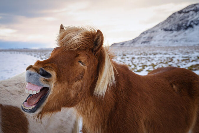 a horse showing a big toothy smile