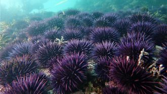Urchin takeover underlies California's vanishing kelp forests