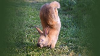 These rabbits can't hop. A gene defect makes them do handstands