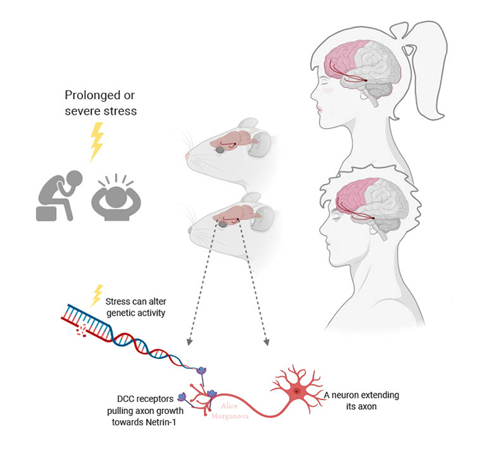 a diagram showing changes in gene expression that lead to brain changes