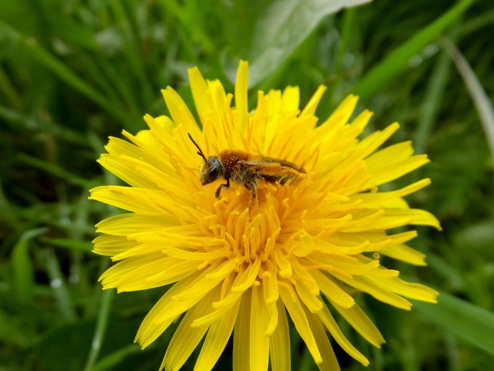 a photo of a miner bee on a dandelion