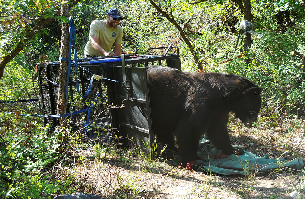 a black bear being released from a bear trap
