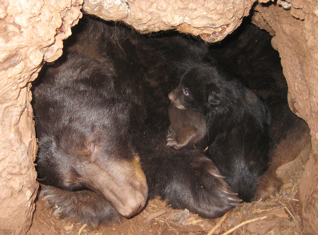 a mother bear and cub cuddling in a den