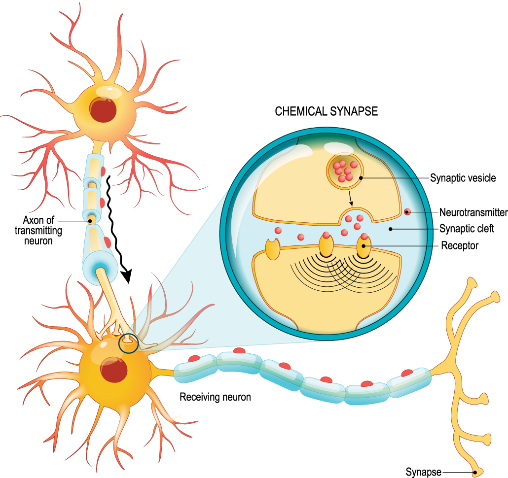 a diagram showing how neurons communicate with each other