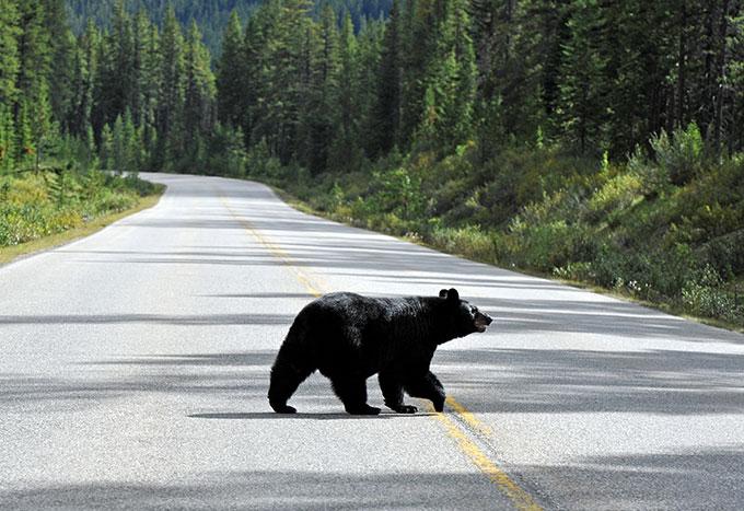 a black bear crossing a road