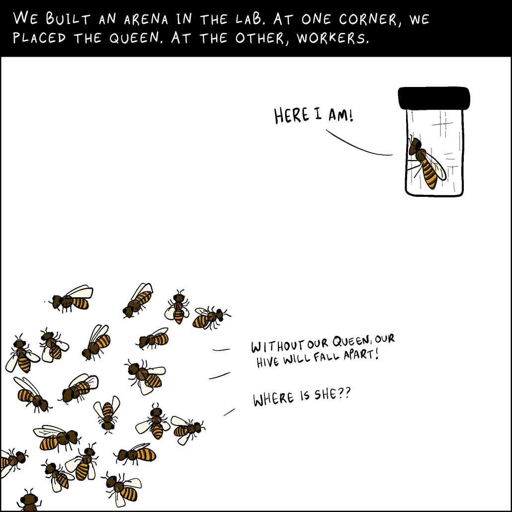 Panel 3: We built an arena in the lab. At one corner, we placed the queen. At the other, workers. Worker bees: Without our queen, our hive will fall apart. Where is she? Queen bee: Here I am!