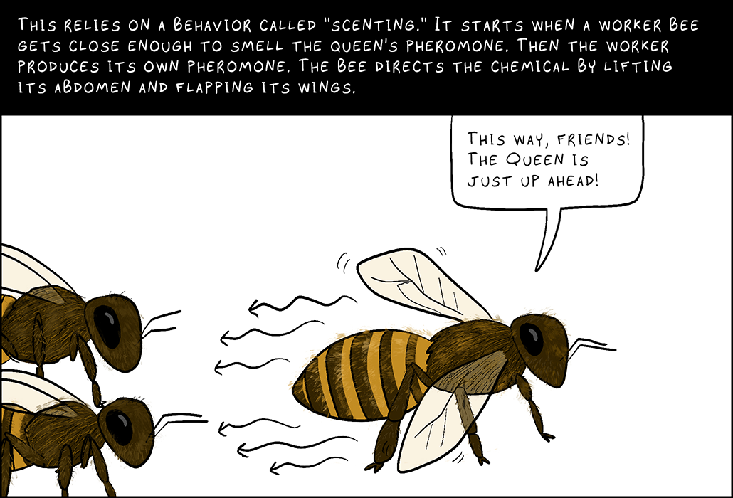 """Panel 5: This relies on a behavior called """"scenting."""" It starts when a worker bee gets close enough to smell the queen's pheromone. Then the worker produces its own pheromone. The bee directs the chemical by lifting its abdomen and flapping its wings.  Worker bee: This way, friends! The queen is just up ahead."""