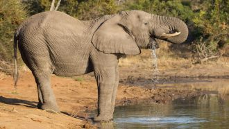 Engineers surprised by the power of an elephant's trunk