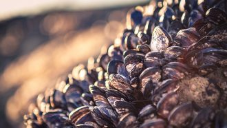Common parasite may help mussels survive heat waves