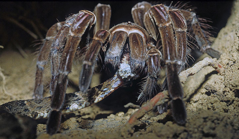 a large brownish-black tarantula eats a snake head first