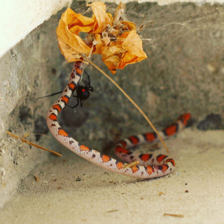 a black widow spider caught a scarlet snake in a web
