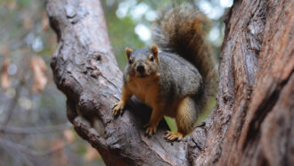 Squirrels use parkour tricks to leap from branch to branch