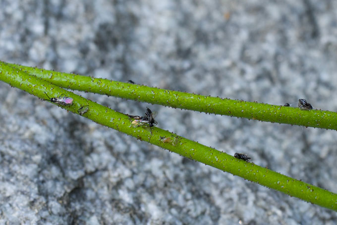 bugs stuck to stems of Triantha occidentalis wildflowers