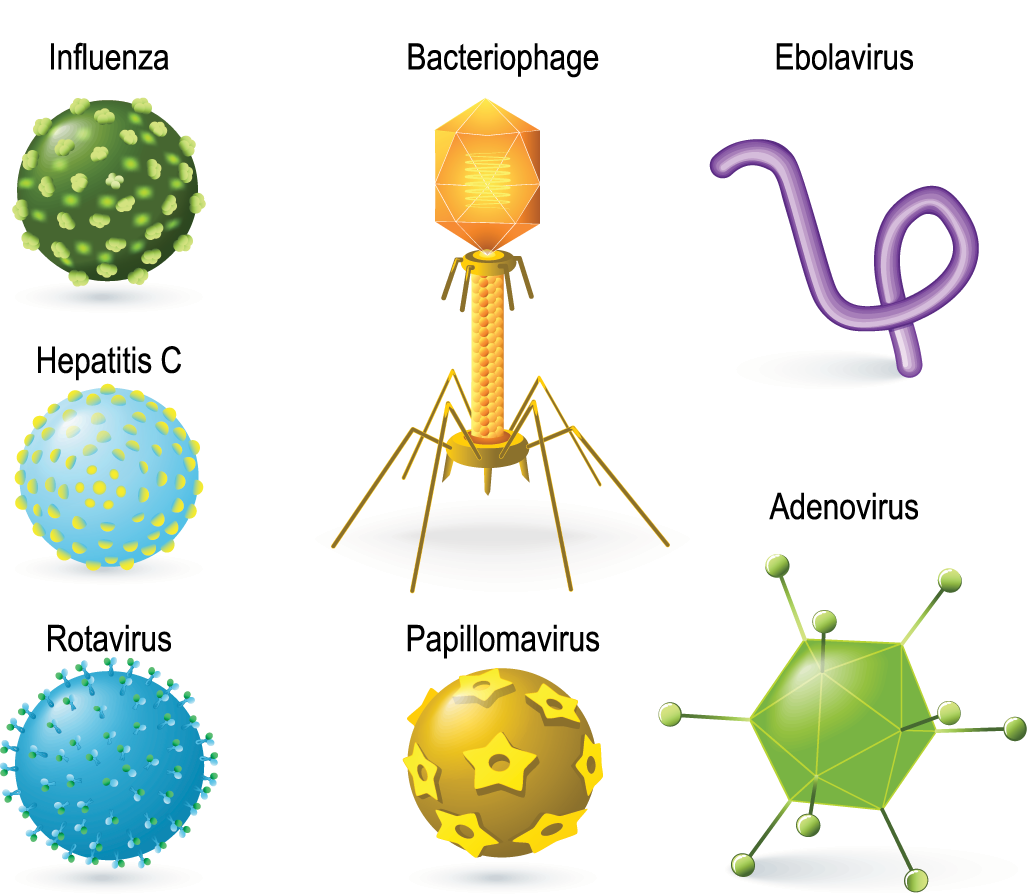 an illustration of a variety of different viruses including bacteriophage, adenovirus, influenza, etc...