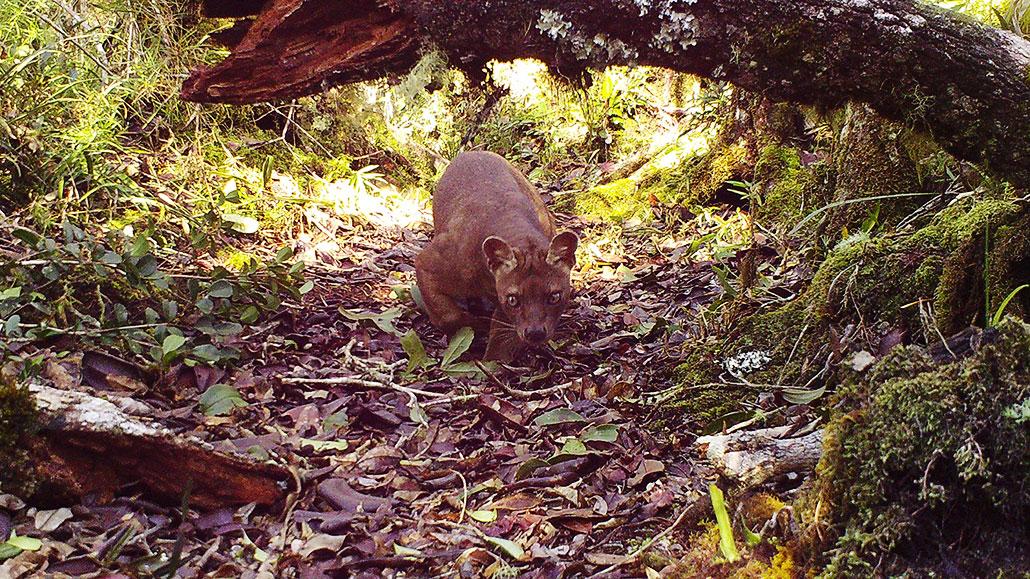 a Fosa walking under a log