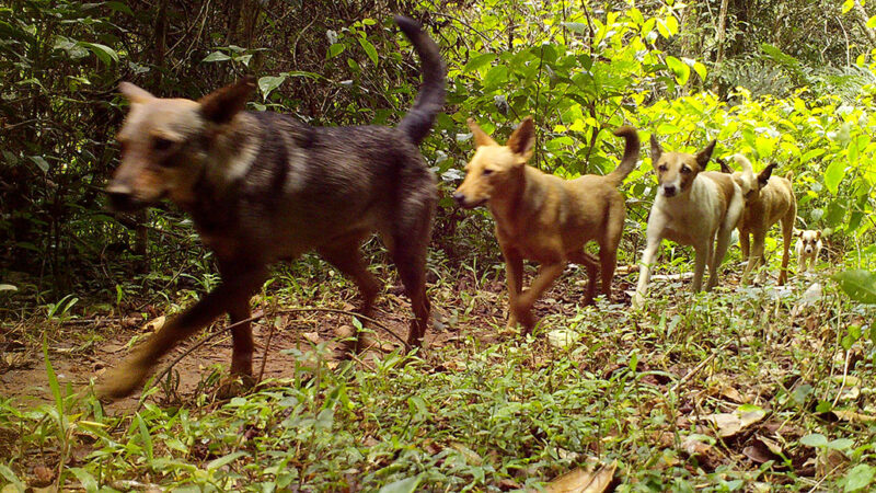 a photo of at least 5 dogs walking in single file past a camera trap