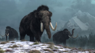 Will the woolly mammoth return?