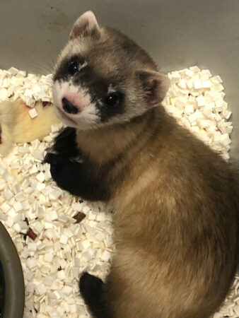 a black-footed ferret named Elizabeth Ann is curled up in a cage
