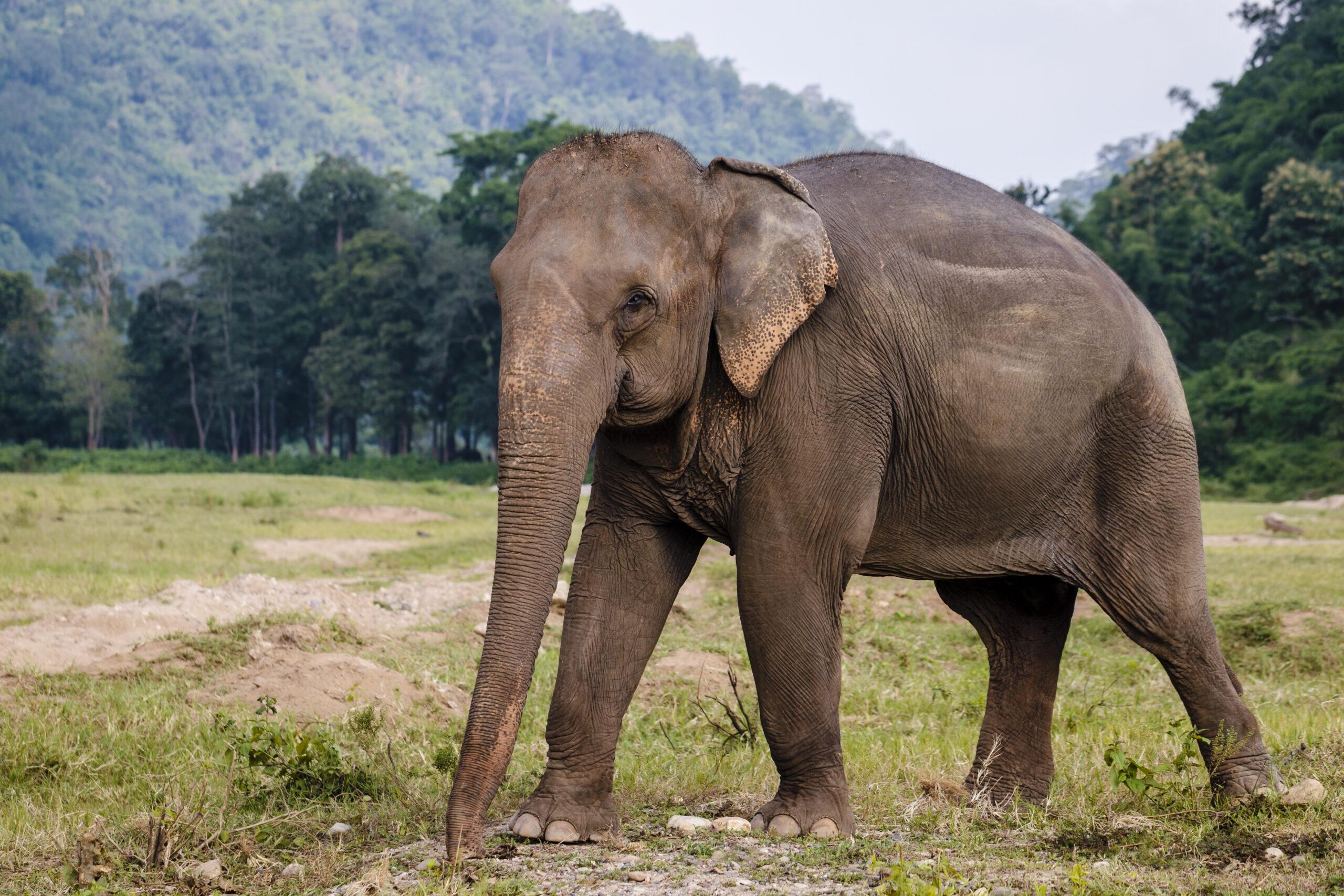 an Asian elephant walking