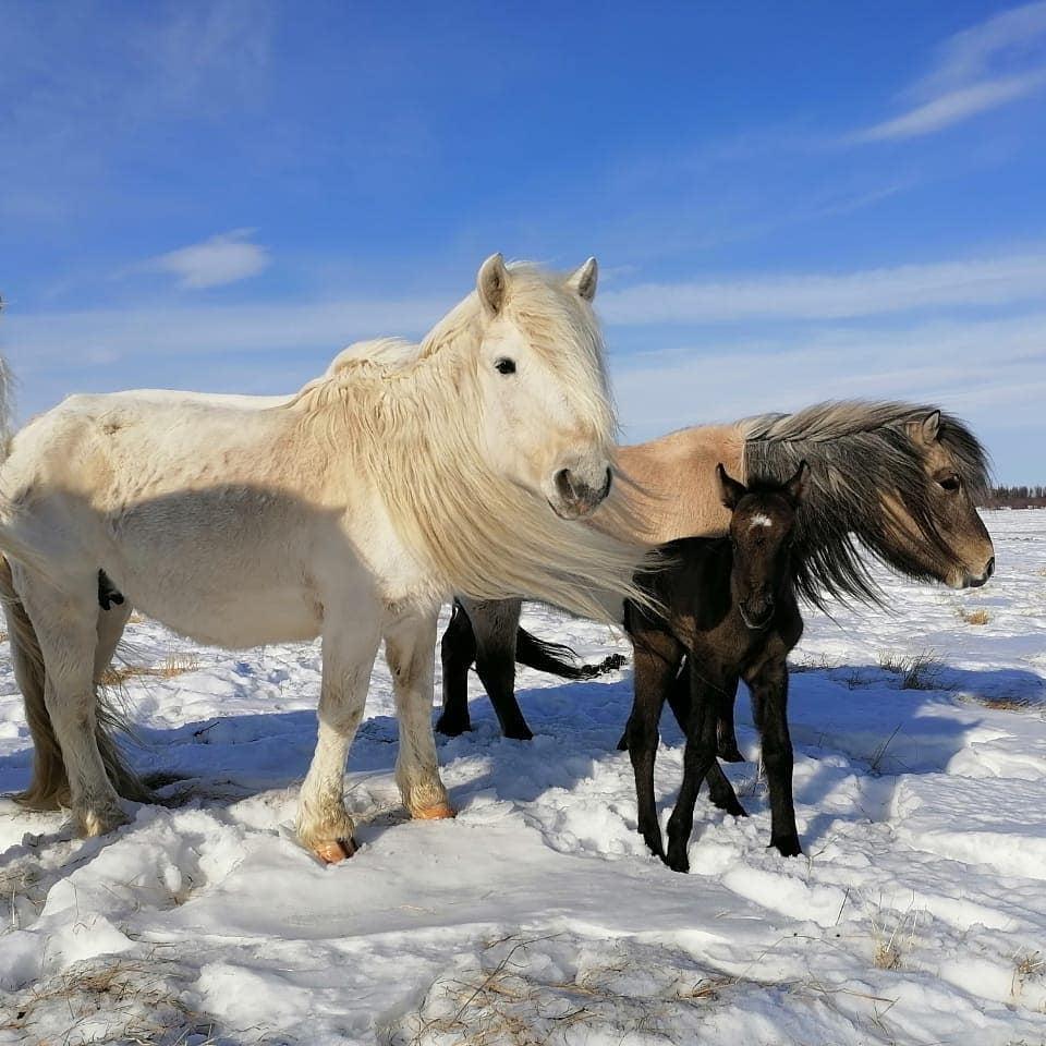 Yakutian horses in Pleistocene Park