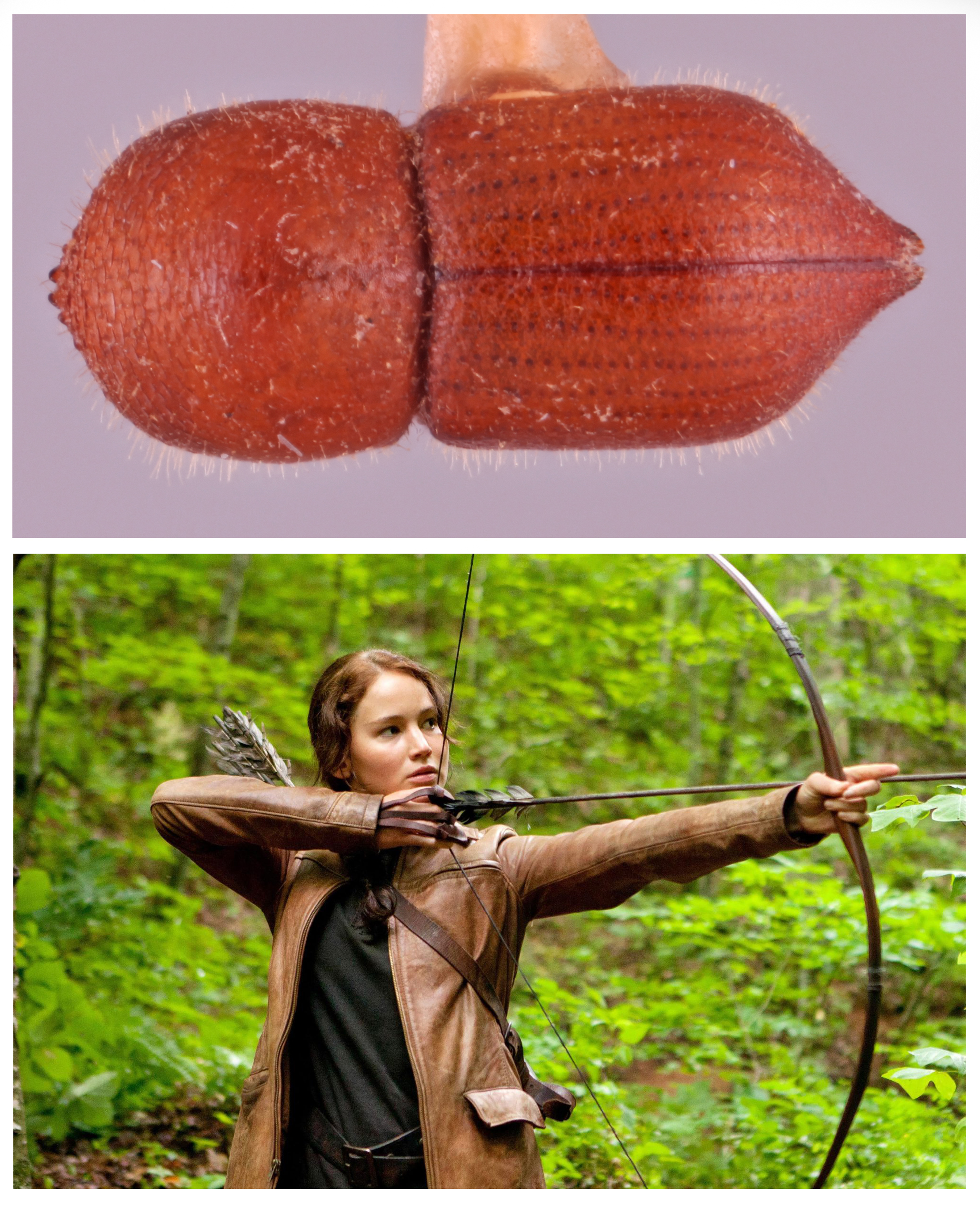 top panel shows the beetle Coptoborus katniss, named after Hunger games character Katniss Everdeen, shown in bottom panel