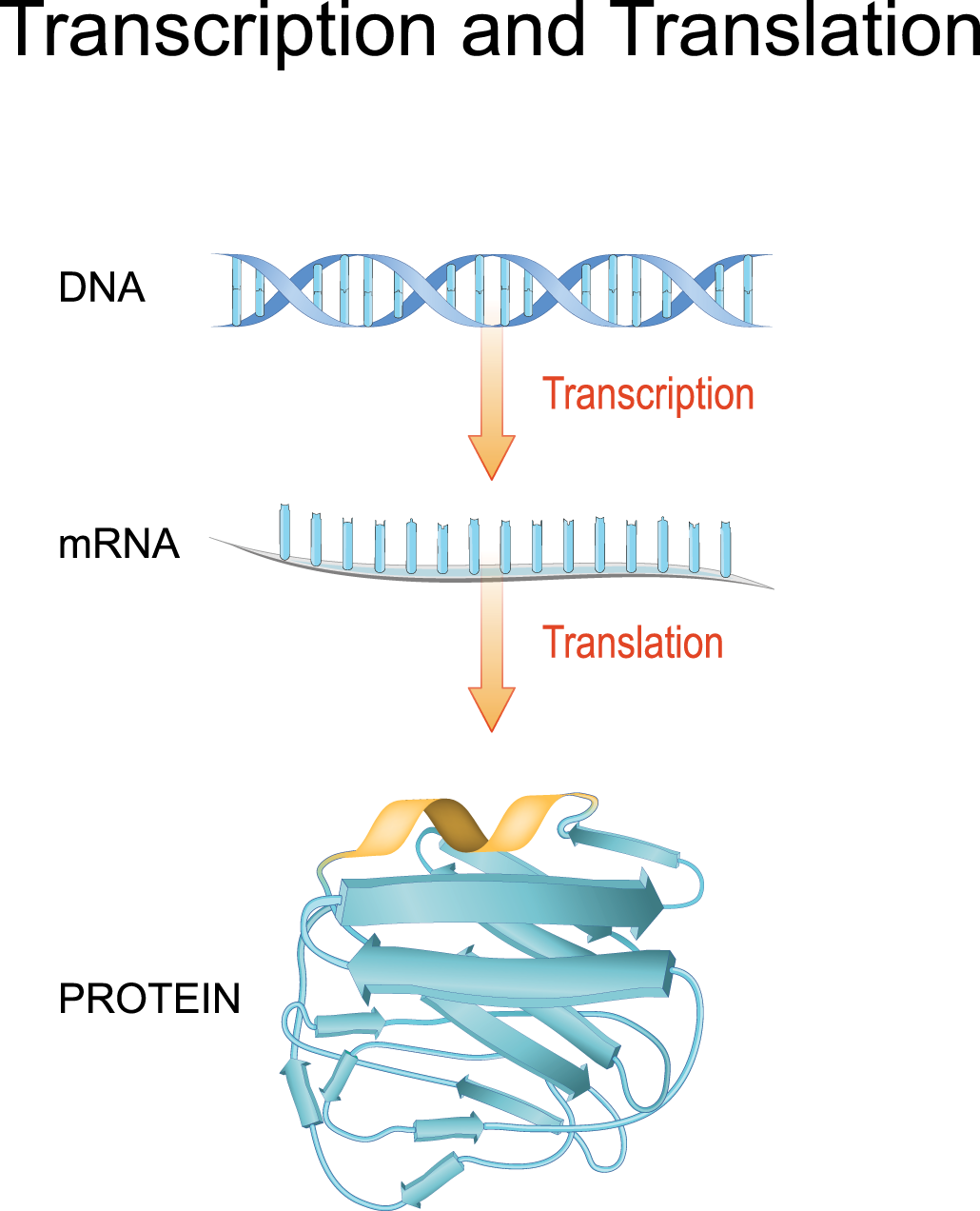 an illustration of the process of making proteins